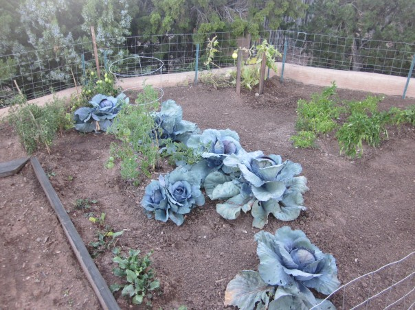 Red Cabbage Growing in the Kitchen Garden